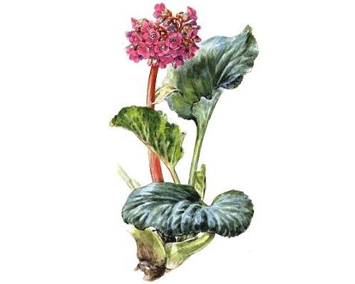 Бадана корни (Rhizomata Bergeniae), 50 гр