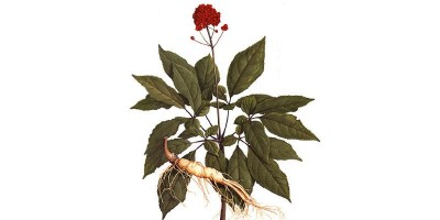 Женьшеня корень не дробленный (RADIX GINSENG), 25 гр