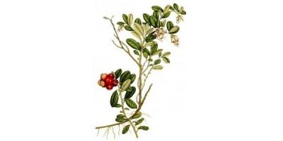 Брусники листья в ф/п - 20 шт
