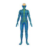Сердечно-сосудистая и нервная система