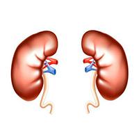 Почки и мочеполовая система