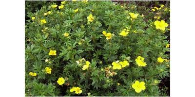 Курильского чая листья и цветы (Pentaphilloidi folia et flores), 50гр
