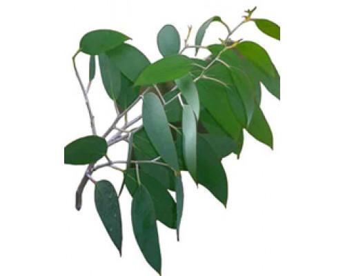 Эвкалипта прутовидного листья, 50 гр