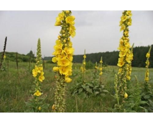 Коровяка трава, 25 гр