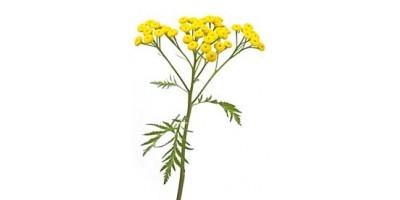 Пижмы обыкновенной цветки, 75 г