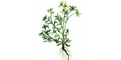 Сушеница  топяная трава, 50 гр