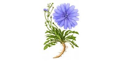 Цикория корень, 50гр