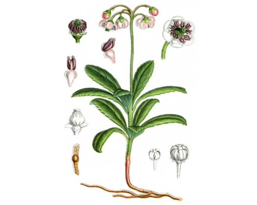 Зимолюбки трава (Herba Chimaphilae), 50 гр